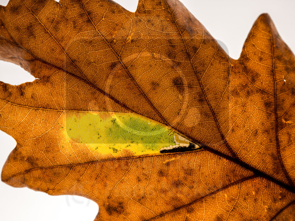 im abgefallenen Blatt der Traubeneiche minierende Insektenlarve