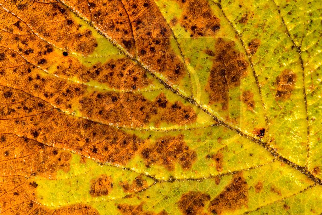 Laubblatt im Herbst